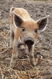 wollschweine130513