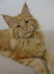 maine-coon140114
