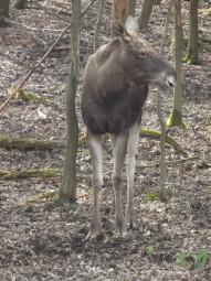 Billy, Magnuns, Julius, Knut, Kalle, Ingvar, Odin, Pekka oder Pontus? Dieser Elchbulle im Tierpark Sababurg braucht einen Namen. Foto: Tierpark Sababurg