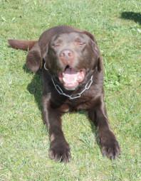 """Der gestohlene Hund """"Maddox"""". Foto: Polizeipräsidium Nordhessen/obs"""