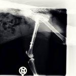 Röntgenbild von Kater Herkules. Quelle: Tierheim Beuern
