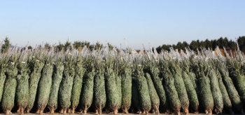 weihnachtsbaum141208