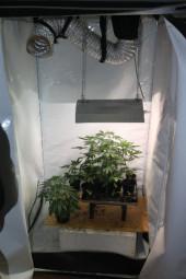 Kleine Marihuanapflanzen in einer Aufzuchtanlage. Foto: Polizei Homberg/obs