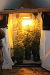 Große Marihuanapflanzen in einer Aufzuchtanlage. Foto: Polizei Homberg/obs