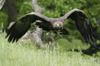 Die Adler fliegen wieder im Tierpark Sababurg. Foto: nh