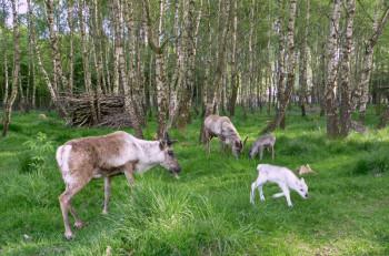 Rentiernachwuchs im Tierpark Sababurg. Foto: nh