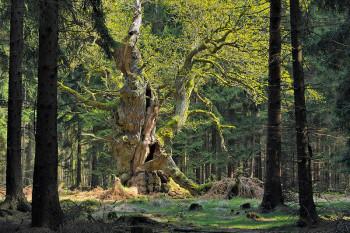 Eiche im Reinhardswald. Foto: Manfred Delpho