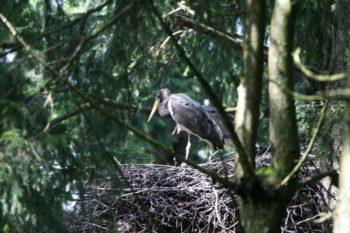 Tausende Kilometer fliegt der Schwarzstorch zurück nach Hessen, um hier im Wald seinen Nachwuchs groß zu ziehen. Foto: Hans-Joachim Fünfstück / Piclease, Quelle: HessenForst