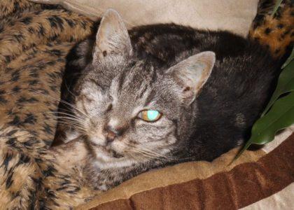 Schneewittchen ist eine liebenswerte, zierliche Katzendame, die die Guxhagener Katzenhilfe aus Besse übernommen hat. Foto: nh