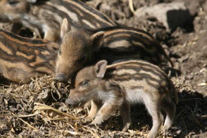 Nachwuchs bei Familie Wildschwein im Tierpark Sababurg. Foto: Sandy Rödde