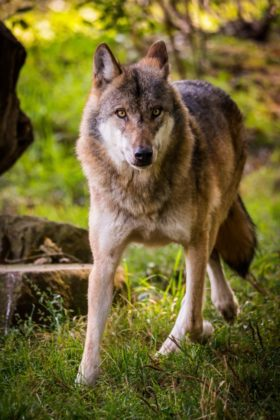 Europäischer Wolf. Foto: Michael Göhre
