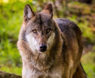 Europäischer Wolf. Beispielfoto: Michael Göhre