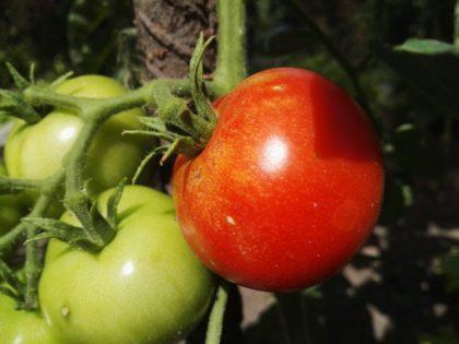 Erste reife Tomate aus dem Garten an der Totenkirche. Foto: Arbeit und Bildung e.V.