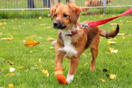 Welpe Luca leidet an Radialislähmung mit beginnender Kußhandstellung. Foto: Tierheim Beuern