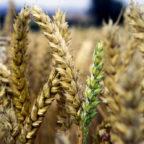 Die Radtour über Land erkundet den Weg vom Korn zum Brot. Foto: nh