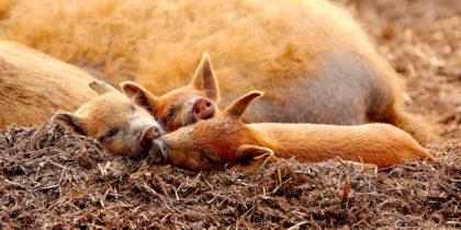 Das Startgeld soll den Wollschweinen zugute kommen. Foto: Petra Redecker | nh