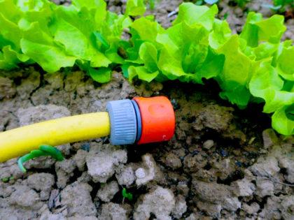 Beim Bewässern Ihrer Gartenpflanzen sollten Sie u.a. auf den Zeitpunkt achten, damit Sie den gewünschten Effekt erreichen und Wasser sparen. Foto: LLH