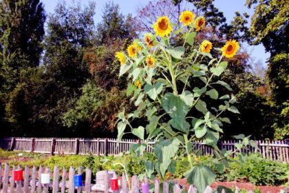 Auch die Sonnenblumen sind im Lehrgarten zu beachtlicher Pracht herangereift. Foto: nh