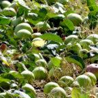 Nach dem Bäumeschütteln lassen sich die süßen Früchte bequem einsammeln. Foto: nh