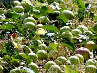Nach dem Bäumeschütteln lassen sich die süßen Früchte bequem einsammeln. Foto: Ehrenamtsbörse Mach-Mit e.V., Gudensberg