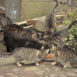Ein Bild, das es bei einer Kastrationspflicht nicht gäbe: Auf einem Bauernhof frisst sich eine große Zahl streunender Katzen satt. Foto: nh