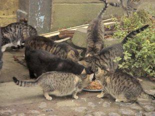 Ein Bild, das es bei einer Kastrationspflicht nicht gäbe: Auf einem Bauernhof muss eine große Zahl streunender Katzen gefüttert werden. Foto: nh