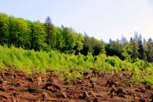 Nach dem Aufräumen steht die Wiederbewaldung an – Naturverjüngung hat hierbei zunächst Vorrang. Foto: F. Reinbold   HessenForst