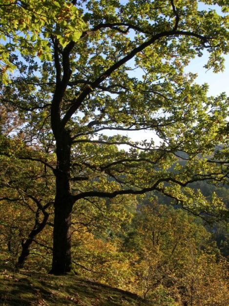 Stattliche Eiche im Herbst. Foto: Carola Hotze
