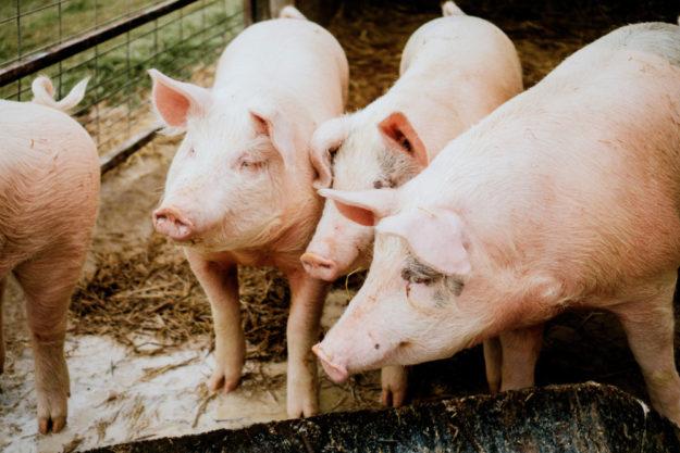 Vor allem Schweine aus dem Ausland werden in Deutschland nicht mehr geschlachtet.  Foto: A. Kipp | unsplash