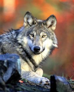 Gerne hätte der Wildpark Knüll seinen Wolf lebend zurückbekomen. Symbolfoto: pixabay