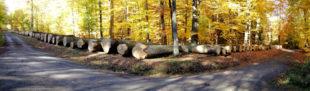 In ihrem Holz kann bald Wein reifen: Die Top-Eichen auf dem Wertholzplatz im Forstamt Wettenberg. Foto: K. Schwarz   HessenForst