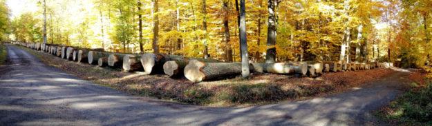 In ihrem Holz kann bald Wein reifen: Die Top-Eichen auf dem Wertholzplatz im Forstamt Wettenberg. Foto: K. Schwarz | HessenForst
