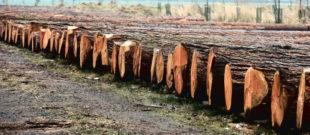 Das Lärchenholz der Nadelwertholzsubmission im Forstamt Jossgrund übertraf alle Erwartungen. Foto: A. Weber | HessenForst