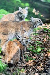 Luchse Paul, Lucy und Foxy in ihrem angestammten Gehege. Foto: nh