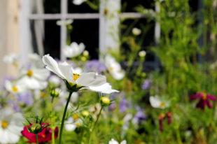 Schöne Pflanzen wie die Cosmea sind ein schöner Anblick und helfen auch, die Artenvielfalt der Vögel und der Insekten zu erhalten. Foto: pixabay