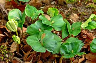 Natürlich entstandene Keimlinge am Waldboden: Baby-Buchen, wenige Tage nach dem Start in ein hoffentlich langes Leben. Foto: L. Karner   HessenForst