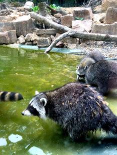 Raccy und seine Waschbär-Gang in offener Wildbahn. Foto: Wildpark Knüll