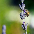 Eine Biene zieht sich Nektar und bestäubt gleichzeitig die Blüten. Foto: Jean van der Meulen