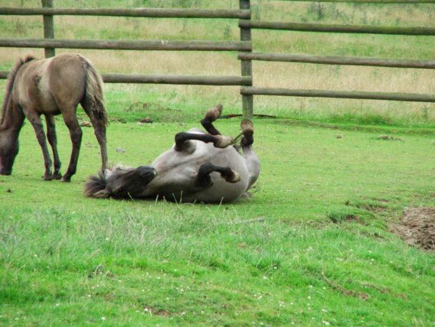 Die Tarpane stehen im Mittelpunkt der Veranstaltung »Wildes Pferd«. Foto: Wildpark Knüll