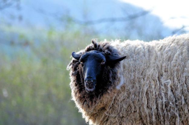 Zeit für den Sommerschnitt: die Rhönschafe im Wildpark freuen sich auf den Schafscherer. Foto: Wildpark Knüll