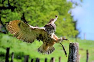 Der Europäische Uhu. Foto: Michael Rehfeld   Tierpark Sababurg