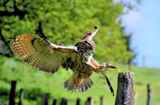 Der Europäische Uhu. Foto: Michael Rehfeld | Tierpark Sababurg