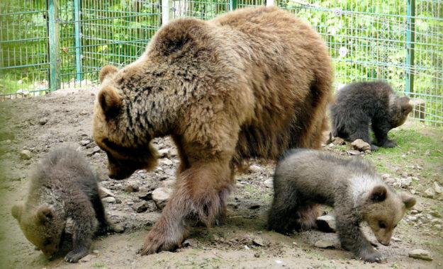 Bärenmutter Onni mit ihrem Nachwuchs. Foto: Schwalm-Eder-Kreis
