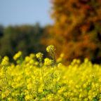 Die Anbauflächen für Winterraps sind um nahezu ein Drittel zurückgegangen. Foto: nh | Pixabay