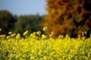 Die Anbauflächen für Winterraps sind um nahezu ein Drittel zurückgegangen. Foto: nh   Pixabay