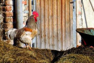 Es gibt viele Vorstellungen von Landurlaub. Der Hahn auf dem Mist wird dabei oft zitiert ... und doch kennen nur noch wenige dieses Idyll aus eigenem Erleben. Foto: Sidala | Pixabay