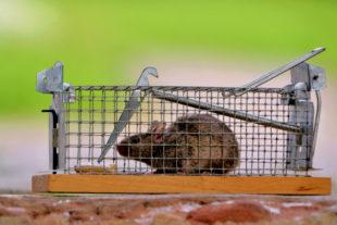Mit Speck fängt man Mäuse. Foto: Schmidtkunz