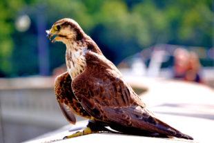 Junger Falke auf der Edersee-Sperrmauer. Foto: Schmidtkunz