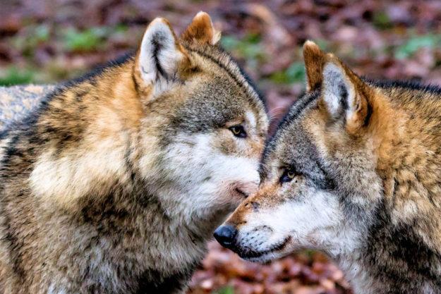 Auch der Europäische Wolf zählt zu den Bewohnern im Tierpark Sababurg. Foto: Cornelius Turrey | Sababurg