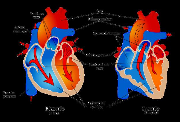 Rund um Herz- und Kreislauf wird viel Fachchinesisch gesprochen. Die Ärzte der »Gesundheitsakademie on Tour« erklären das nun besser. Repro: nh